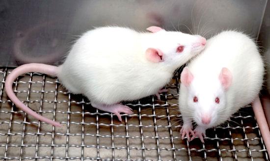 Un nuevo modelo de ratón para la Ataxia de Friedreich podría ser útil para evaluar el potencial de futuras terapias