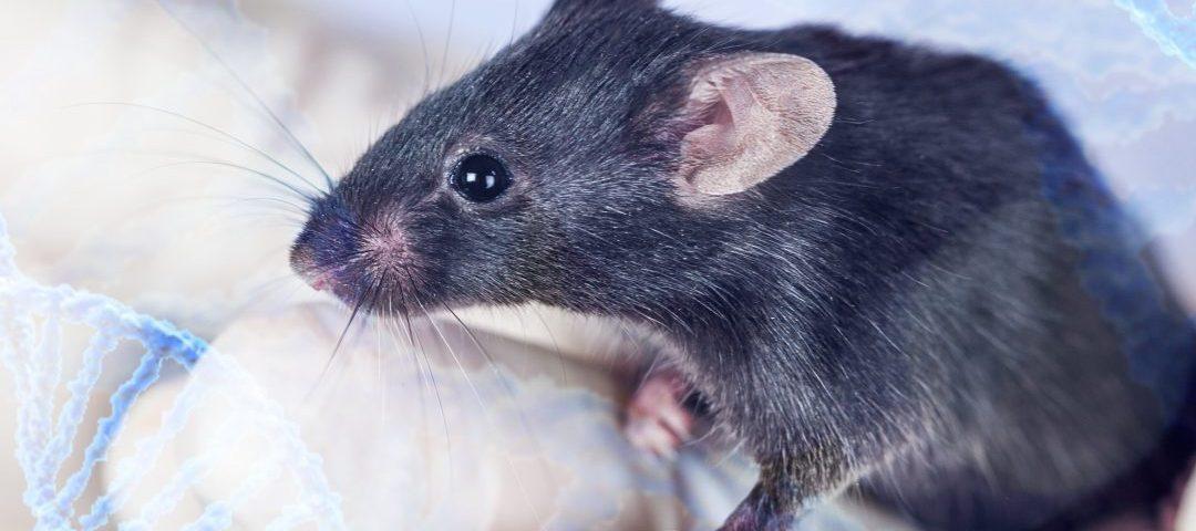 El trasplante de HSPC restablece la función mitocondrial en un modelo de ratones con FA