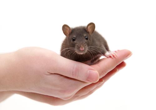 Función cardíaca en ratones con ataxia de Friedreich: Restaurada con la corrección de la mitad de las células