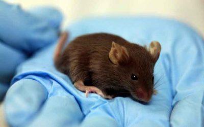 El tratamiento para la SCA1 no causa efectos secundarios no deseados en un modelo de ratón